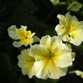 Желто-белые соцветия садовой примулы
