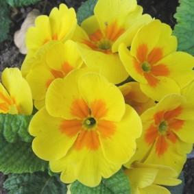 Желто-оранжевые цветки на кустике примулы