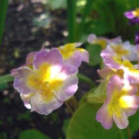 Первые цветки на примуле после посадки