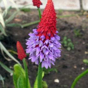 Мелкие сиреневые цветки на стрелке многолетней примулы