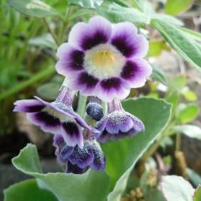 Красивая расцветка примулы на садовой клумбе