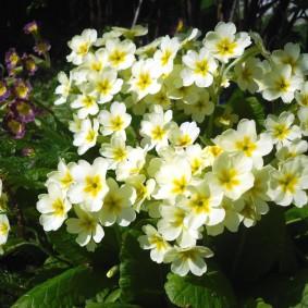 Первые весенние цветки на примуле многолетней