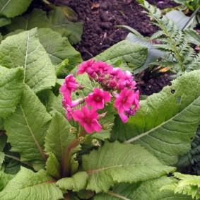 Вытянутые листья садовой примулы с нежно-розовыми цветками