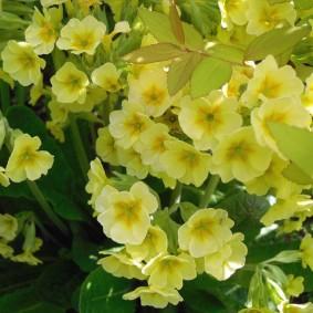 Цветки небольшого размера на кустиках примулы