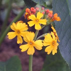 Зонтичное соцветие на стрелке садовой примулы