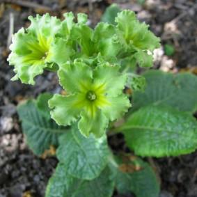 Светло-зеленые цветки на популярном сорте примулы
