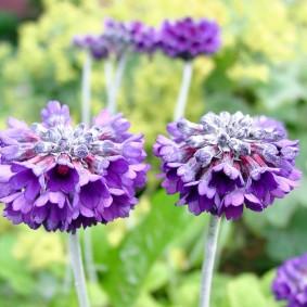 Махровые цветки сиреневого окраса