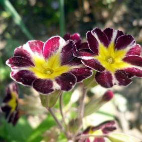 Два крупных цветка крупным планом