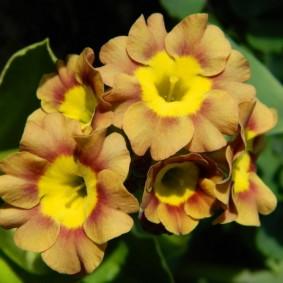Фото цветков примулы в конце весны