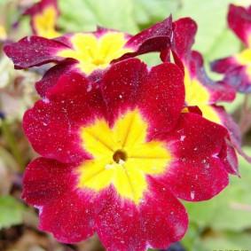 Продолжительное цветение примулы в саду
