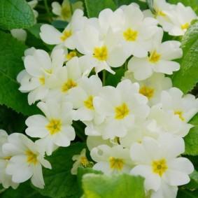 Белые цветки с сердцевиной ярко-желтого окраса