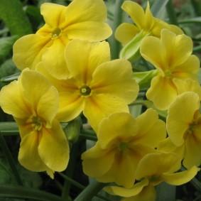 Нежно желтые цветки на невысоком кустике