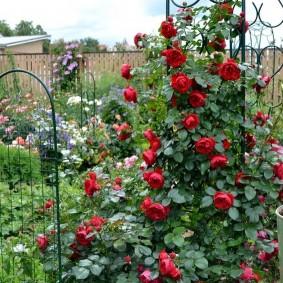 Металлическая пергола с цветущими розами