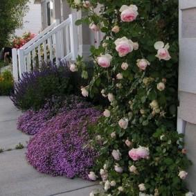 Плетистые розы на стене дачного дома
