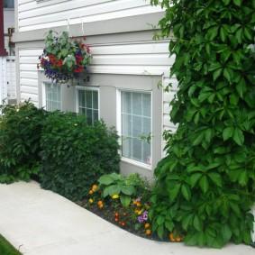 Девичий виноград на стене жилого дома