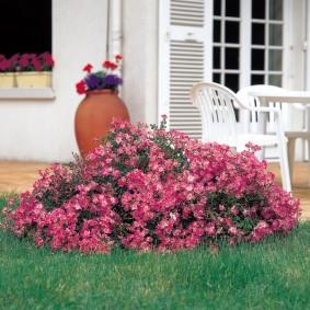 Розово-красные цветки на кустики возле дома
