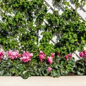 Плетистые вьюны на белом заборе