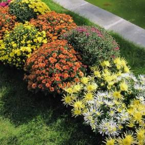 Разнообразные сорта хризантем на одной клумбе