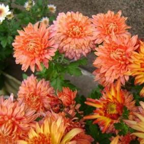 Полумахровые соцветия гибридной хризантемы