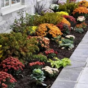 Хризантемы на рабатке вдоль стены дома