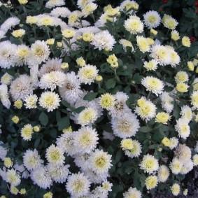 Желто-белые хризантемы на цветочной клумбе