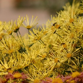 Многолетняя хризантема с игольчатыми соцветиями