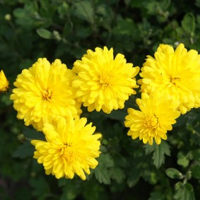 Корейская хризантема с желтыми бутонами