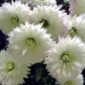 Крупные бутоны белой хризантемы
