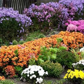 Фото хризантем на клумбе с другими цветами