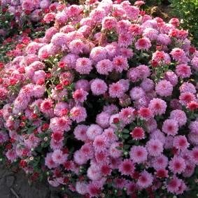 Пышный кустик многолетней хризантемы