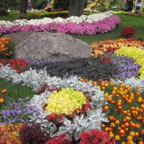 Хризантемы на клумбе с оранжевыми бархатцами