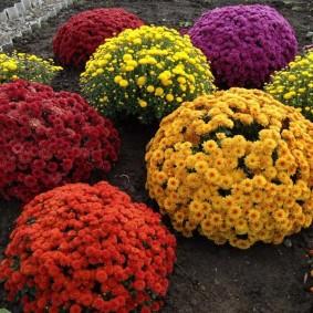 Шарообразные кустики садовых цветов