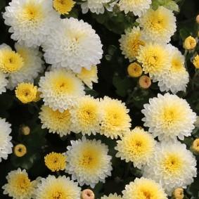 Красивые бутоны садовых цветов