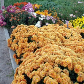 Оранжевые цветы на клумбе у тротуара