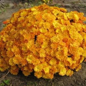 Желто-оранжевые цветы на садовом участке