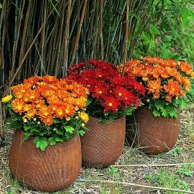Кустики хризантем в коричневых горшках