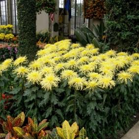 Бледно-желтые цветки на длинных стеблях