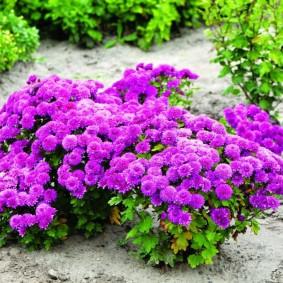 Фиолетовые цветки на многолетних хризантемах
