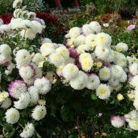 Многолетняя хризантема с белыми соцветиями