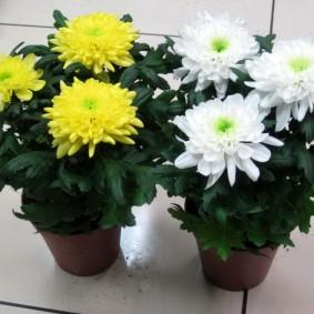 Желтые и белые хризантемы в пластиковых контейнерах