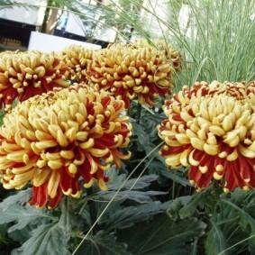 Загнутые лепестки на крупных бутонах цветов