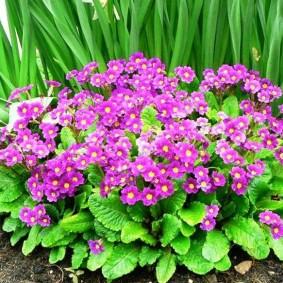 Кустик невысокого многолетника в период цветения
