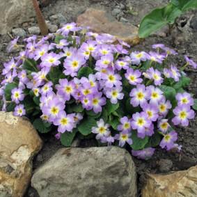 Первые весенние цветы на альпинарии в саду