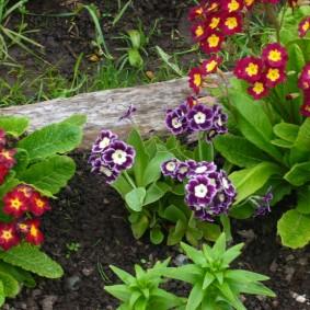 Кустик фиалки с небольшими цветками