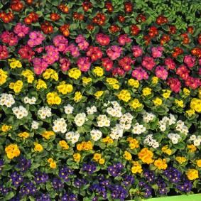 Яркий ковер из цветущих многолетников