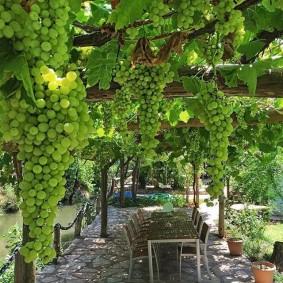 Крупные гроздья зеленого винограда