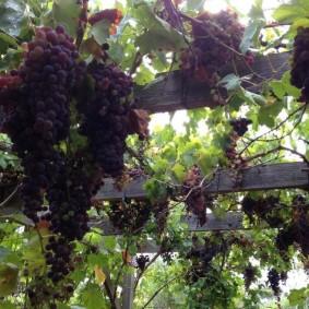 Созревание гроздьев винограда на перекладинах деревянной перголы