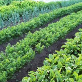 Овощные грядки с узкими междурядьями