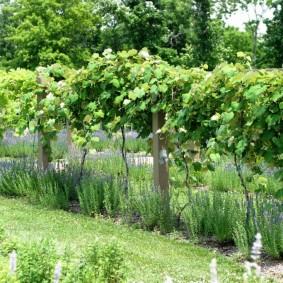 Виноград на шпалере с деревянными столбами