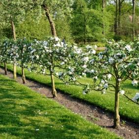 Карликовые яблони на штамбе ранней весной